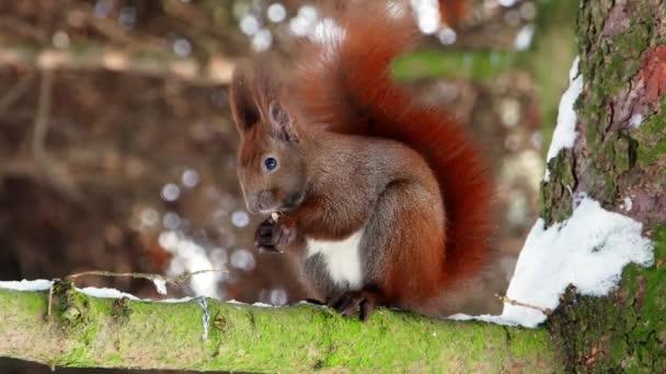 Vörös mókus fa erdei 4k a