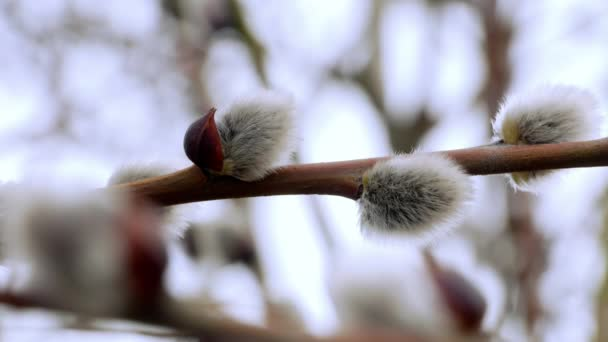 tree branch with buds background, spring 4k