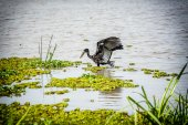 African Openbill Stork landing on the river