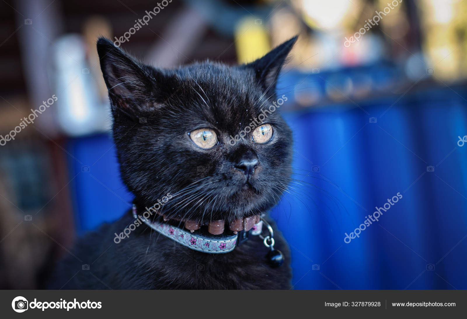 Young Black British Shorthair Cat Breed Stock Photo C Dvrcan 327879928