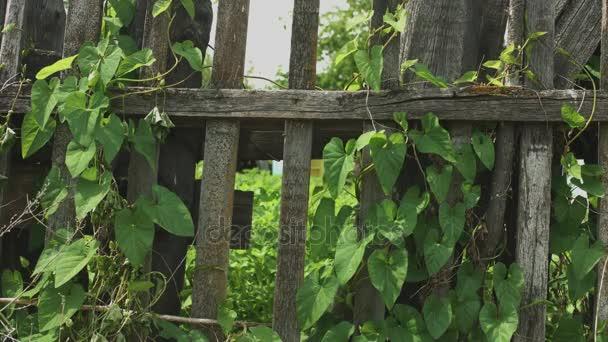 starý dřevěný plot pokrytý břečťanem