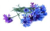 photo manipulation oil paint blue cornflower  isolated