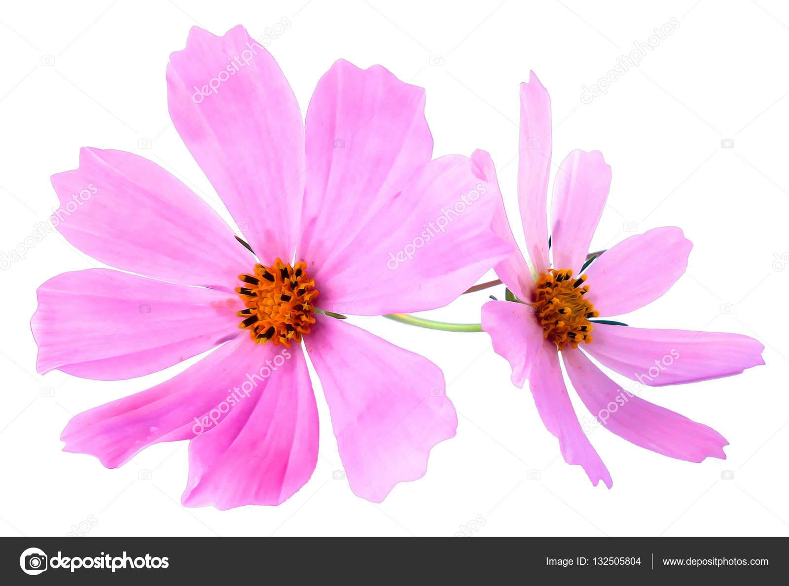 Kosmeya Fresh Pink Flower Photo Manipulation Stock Photo Aarud