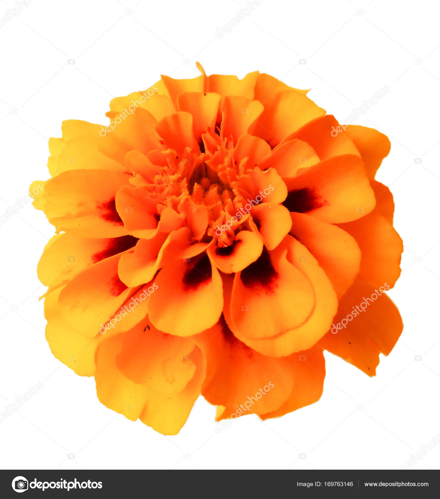 Marigold Flower Isolated Lies On White Stock Photo Aarud 169763146