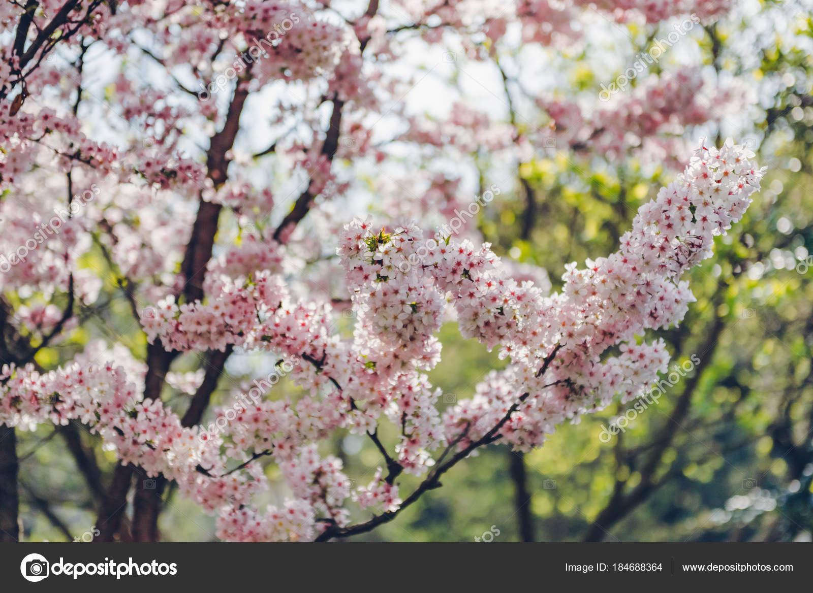 Beautiful Pink Cherry Blossom Nature Background Soft Light Cherry