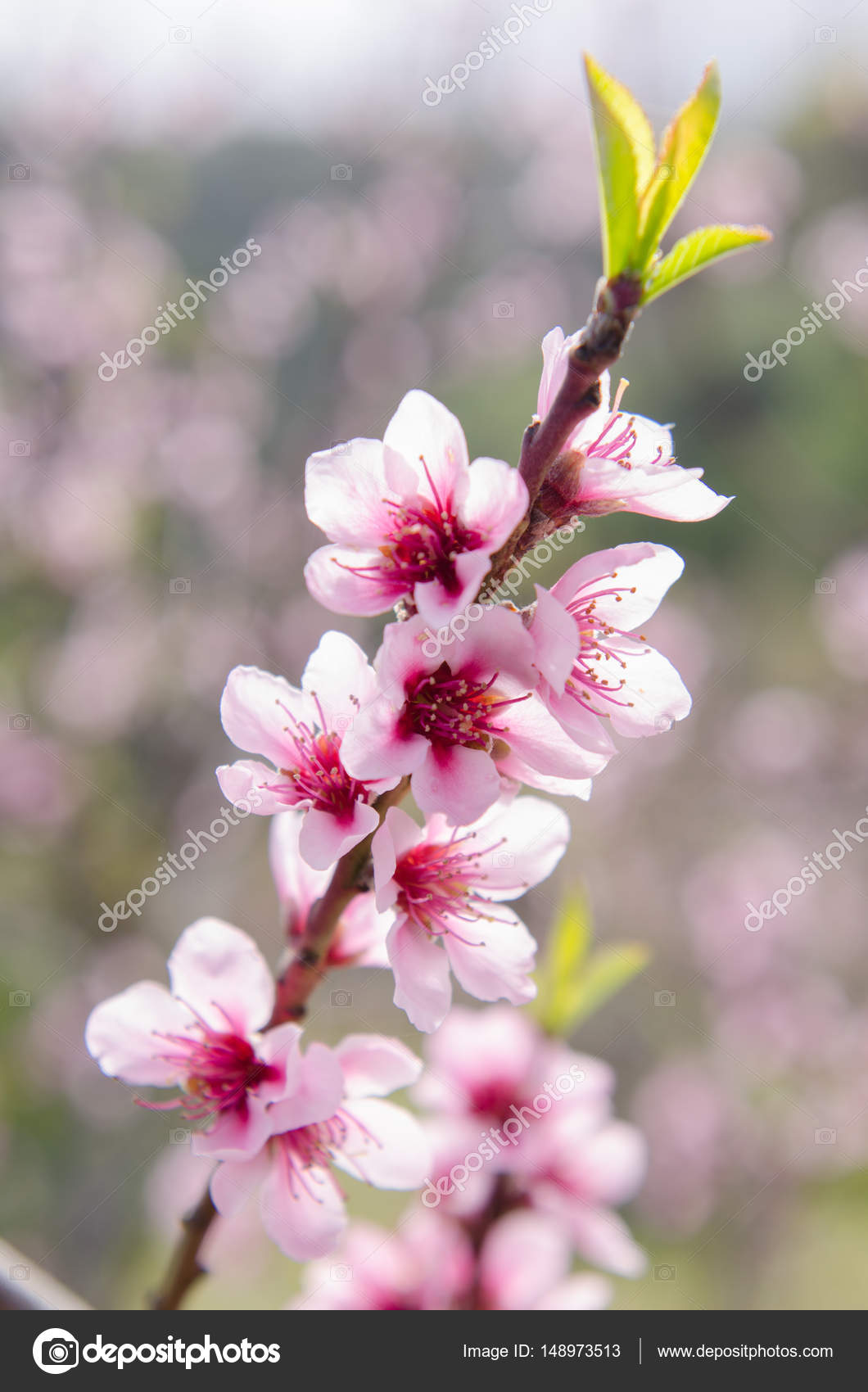Pictures Peach Tree Flowers Peach Tree Flowers Stock