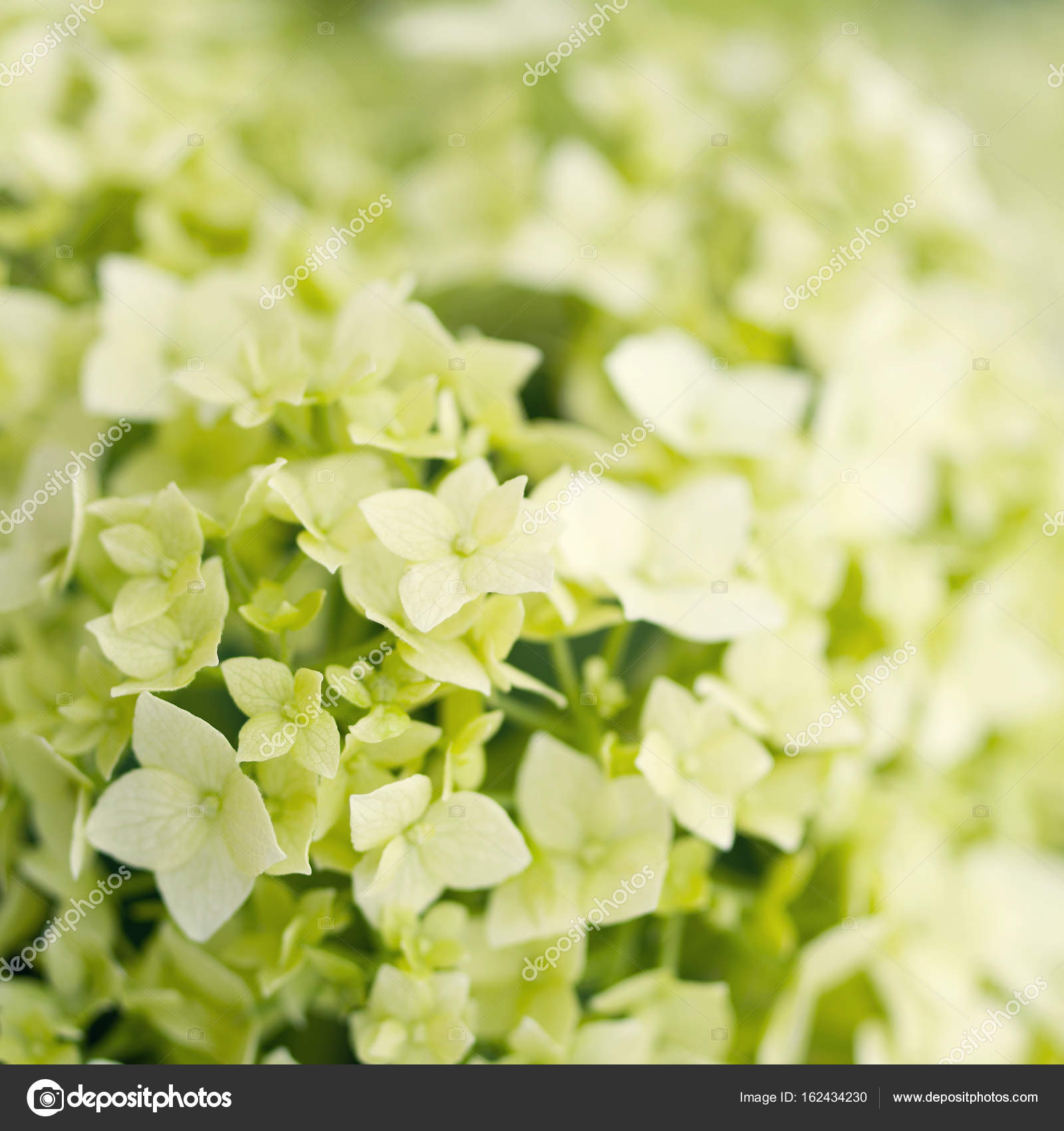 White Hydrangea Flower Close Up Stock Photo Isavira 162434230