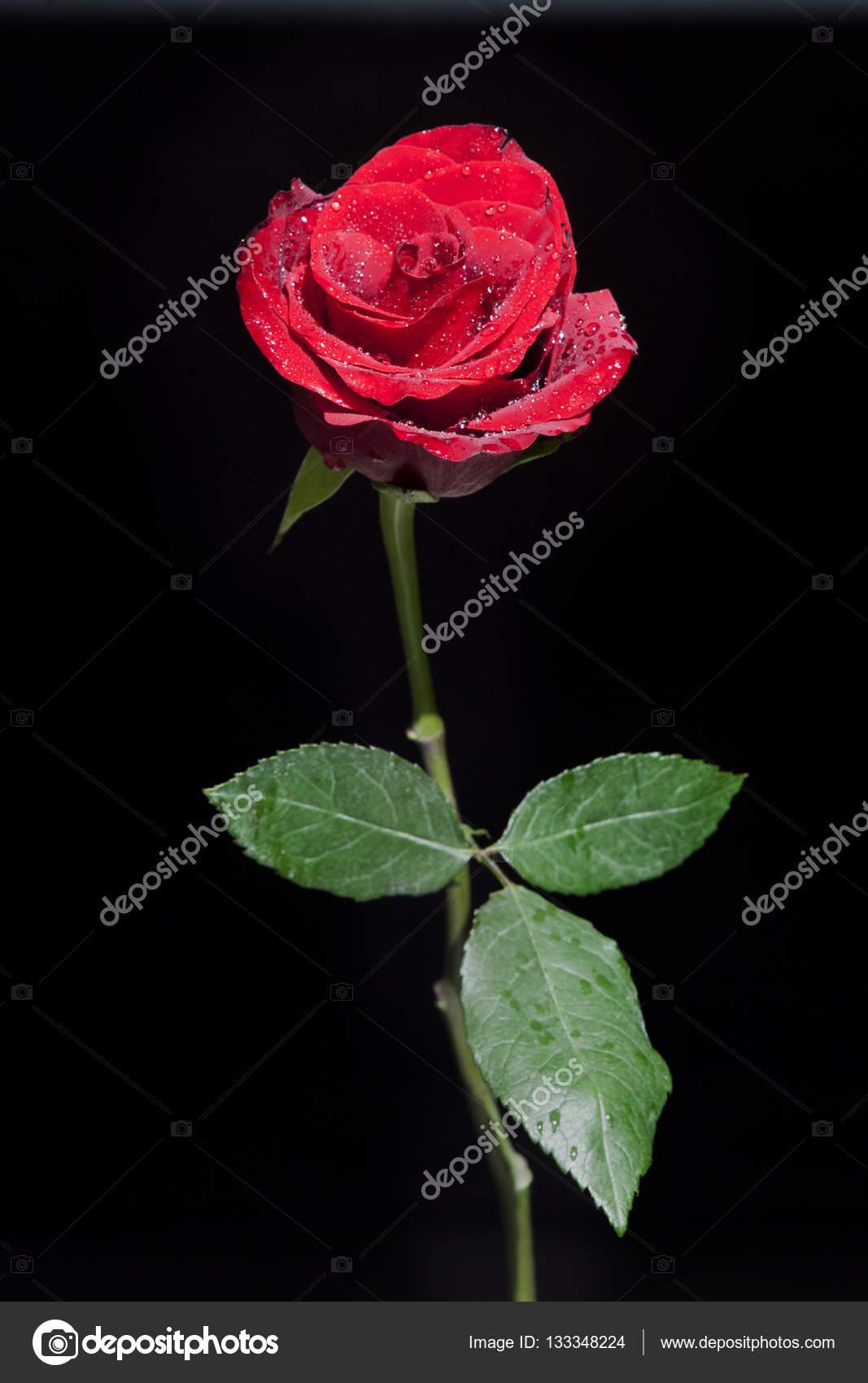 Rosa Rossa Su Sfondo Nero Foto Stock Ukususha 133348224