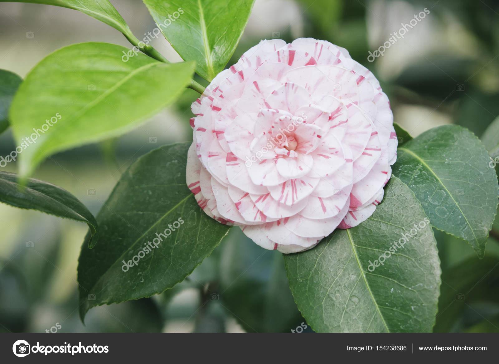 Japanese camellia camellia japonica pink flower stock photo japanese camellia camellia japonica pink flower stock photo mightylinksfo