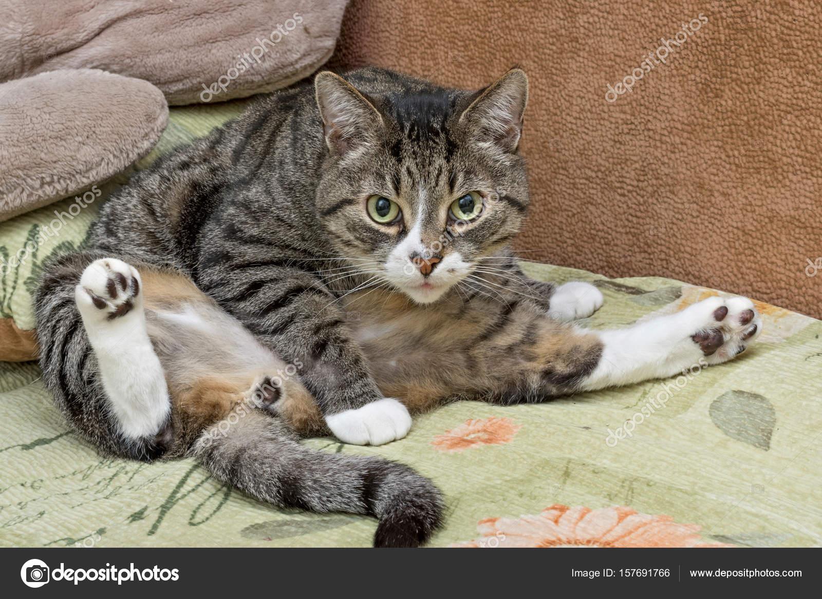 Gray And White Tabby Cat Stock Photo C Vizland 157691766