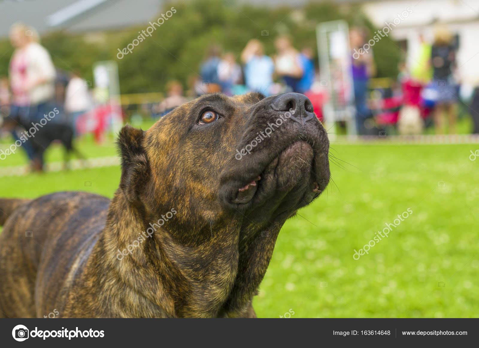 Cane di Rottweiler close-up — Foto Stock © vizland #163614648