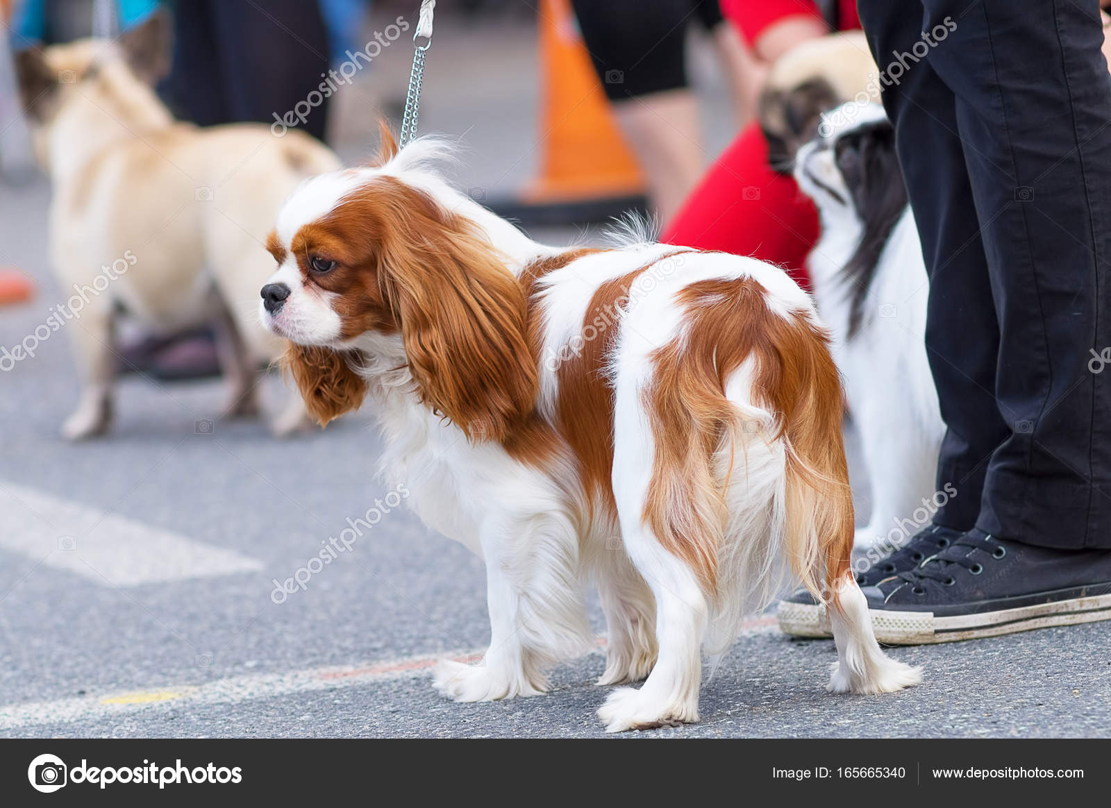 Cavalier King Charles Spaniel Stock Photo Vizland 165665340