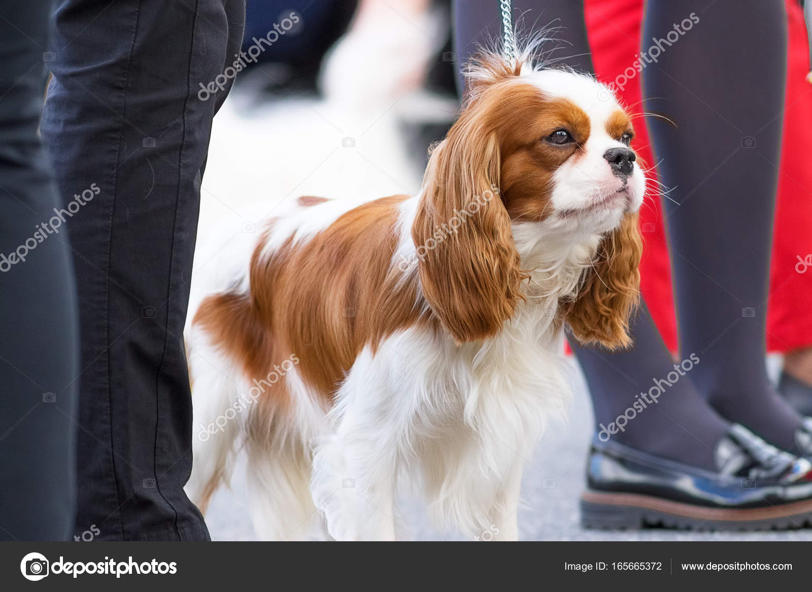 Cavalier King Charles Spaniel Stock Photo Vizland 165665372