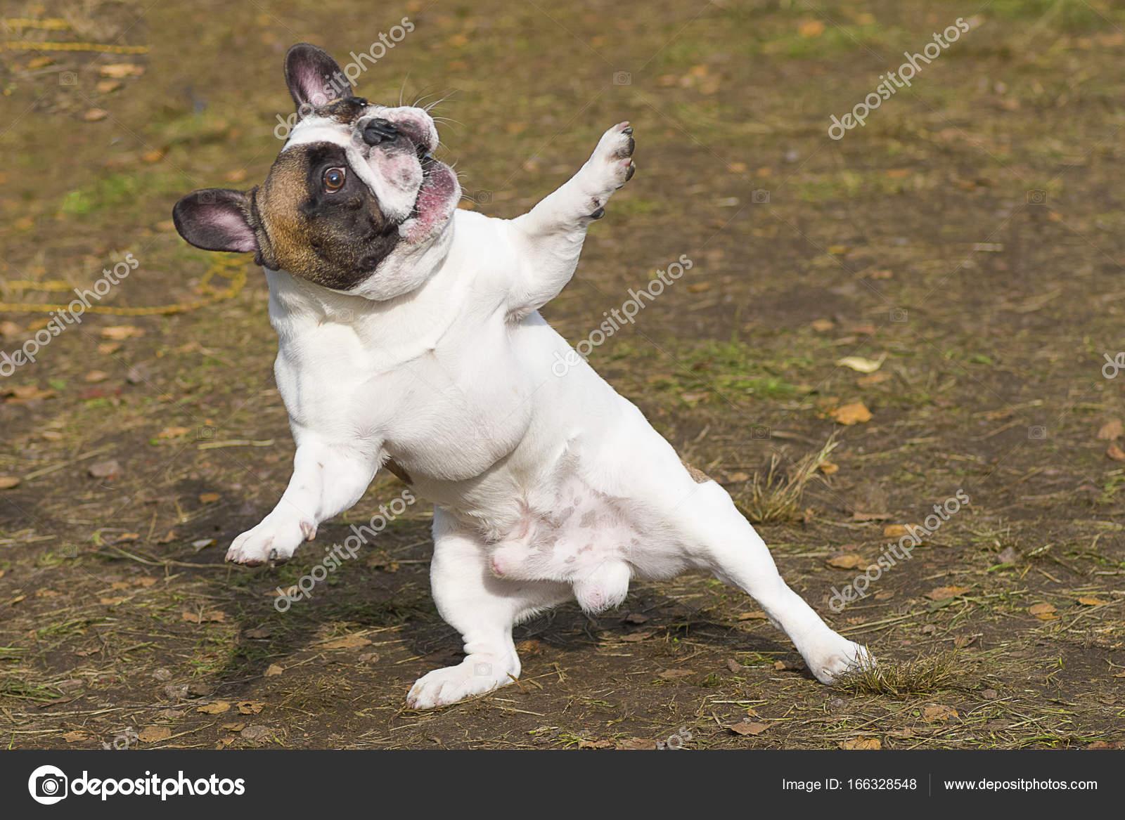 Gros Plan De Bulldog Anglais Photographie Vizland 166328548