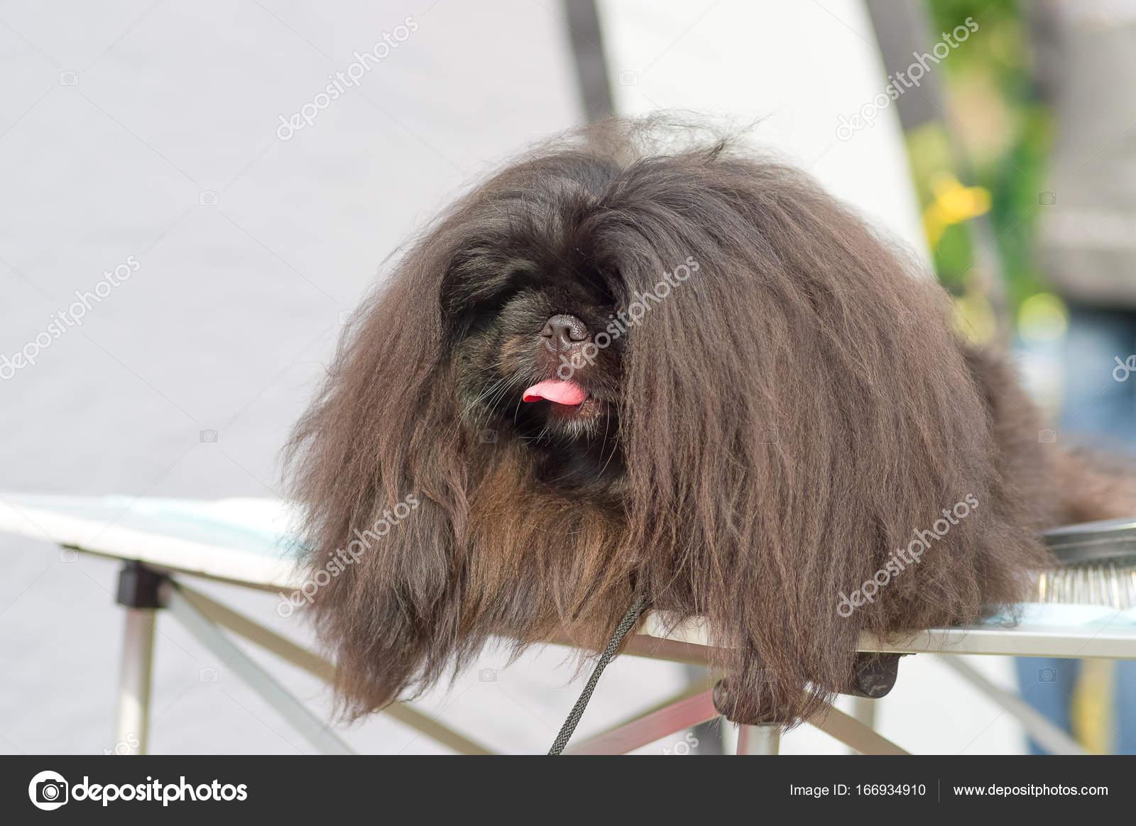 Pekinese Hund Nahaufnahme Stockfoto Vizland 166934910