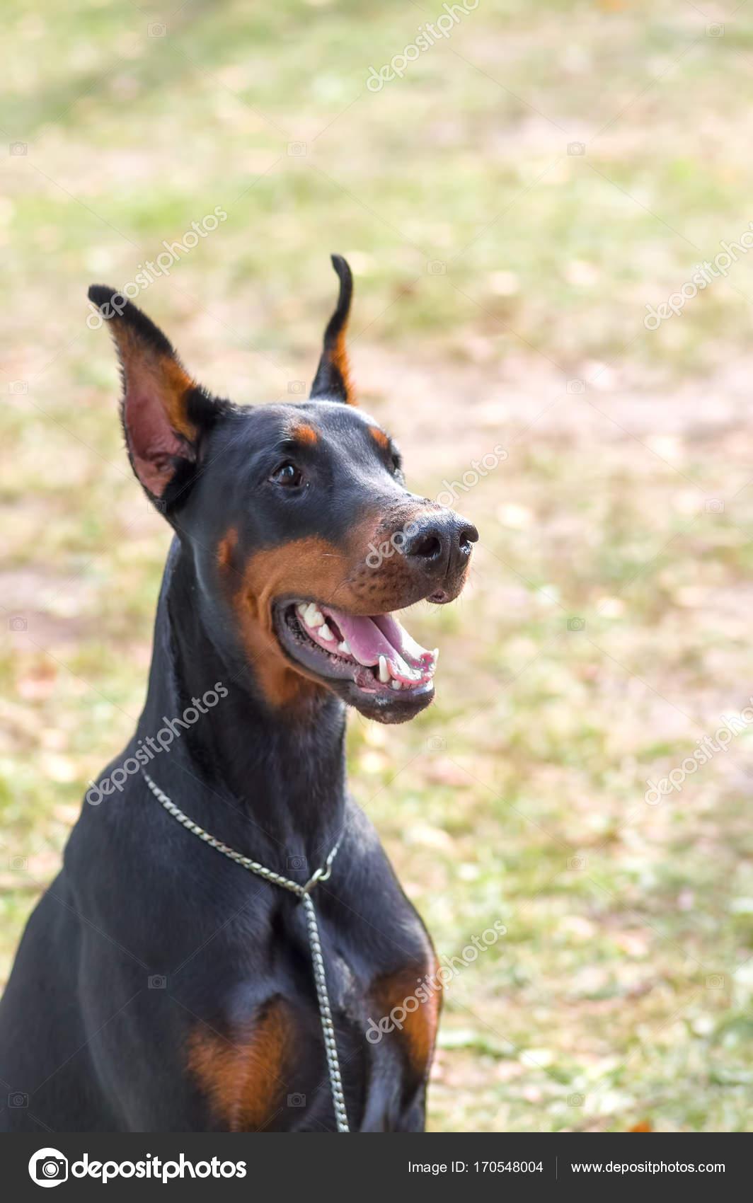 Primo piano del cane del pinscher del doberman foto for Disegni del mazzo del secondo piano
