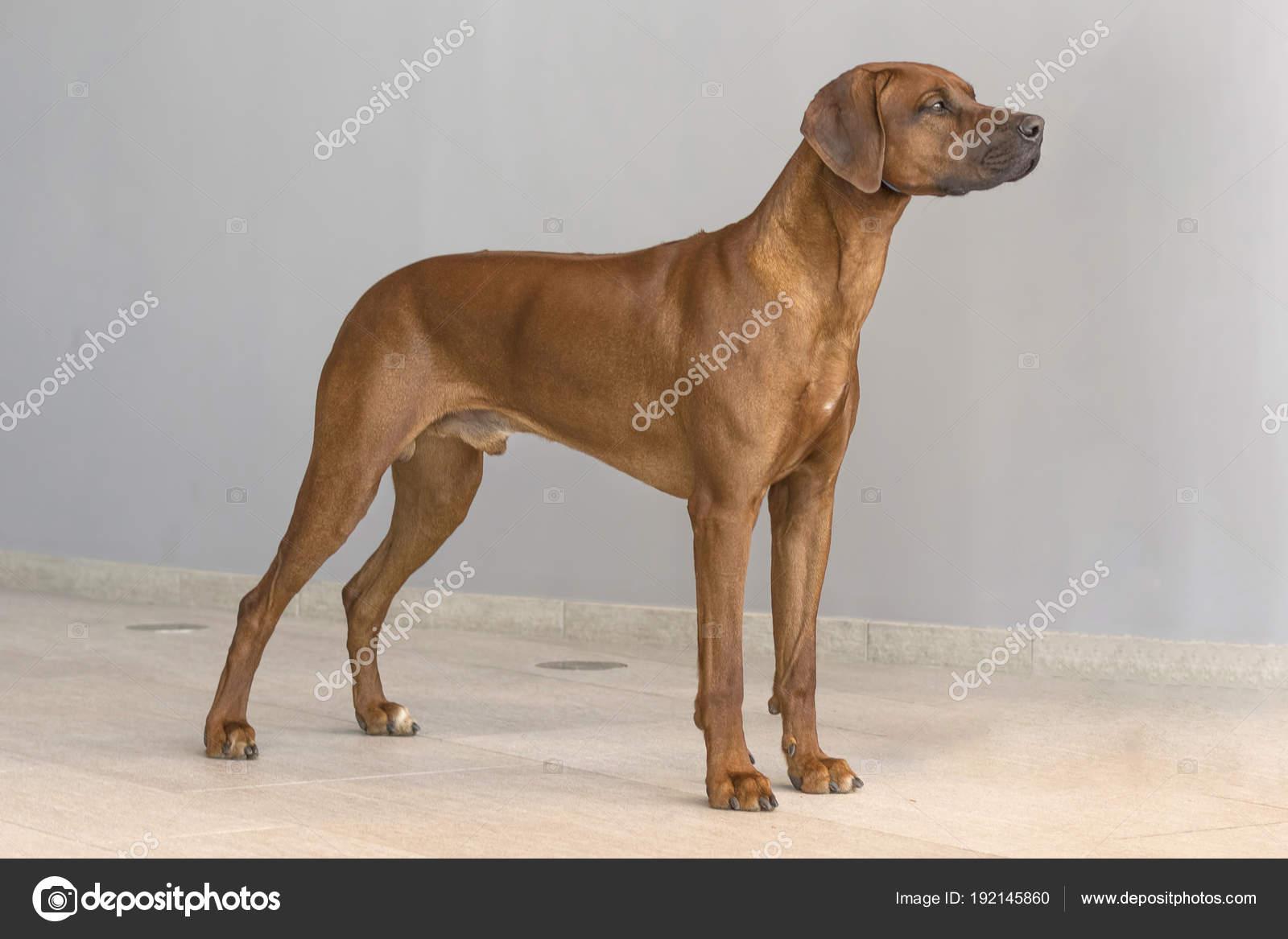 Ridgeback De Rodesia Perros De Pelo Corto Hound Dog Foto