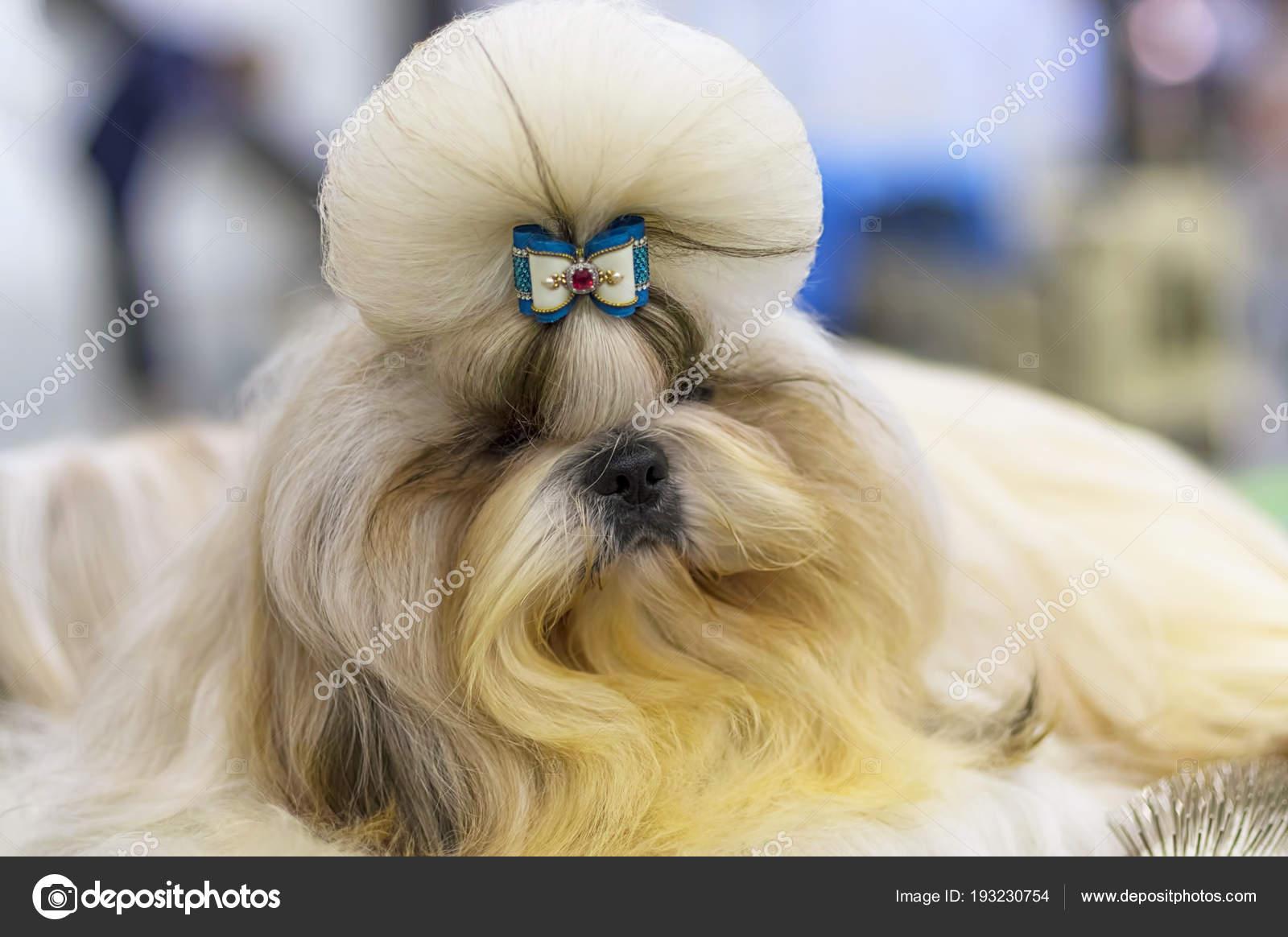 Cane Maltese Lap è Un Piccolo Cane Decorativo Con Un Bel Mantello