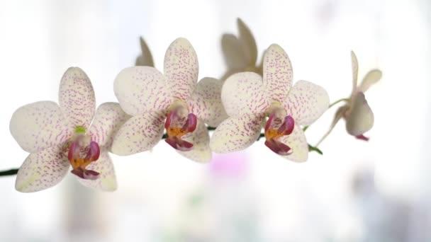 Větvička bílých orchidejí s červenými tečkami. Horizontální zpomalovací kamera