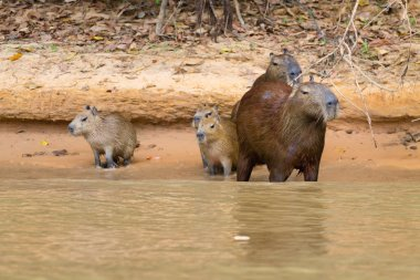 Herd of Capybara from Pantanal, Brazil