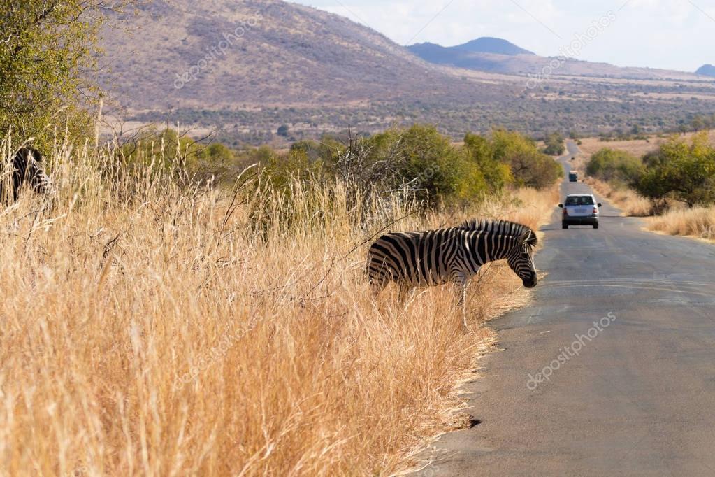 Zebra cross the road from South Africa, Pilanesberg National Par