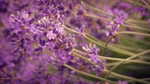 Lavender Flowers In Breeze