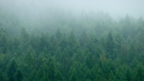 Hustý borový les v mlze