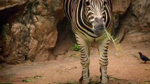 Zebra étkezési növények tartalék