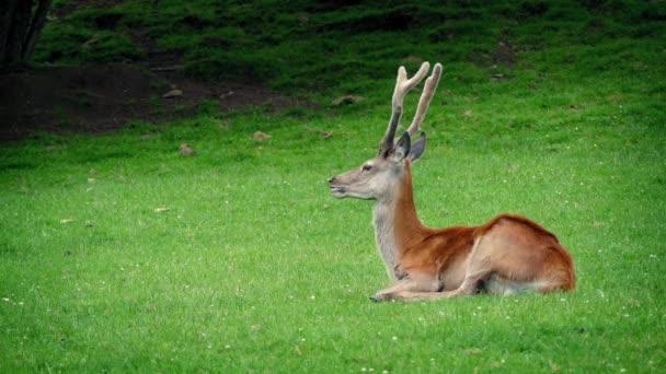 Rehe ruhen sich im Gras aus