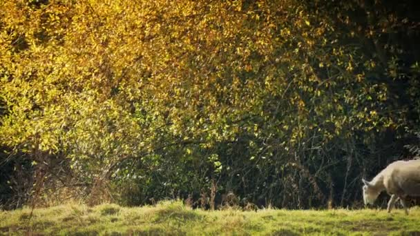 Schafe grasen in goldenem Sonnenlicht neben Baum