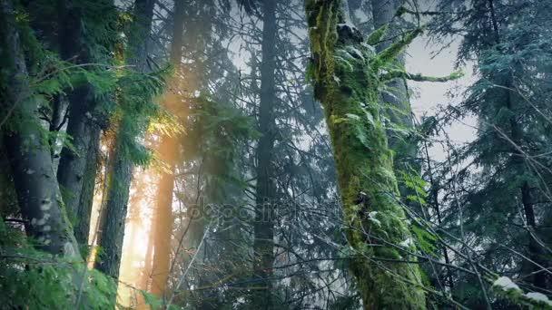 Sluneční světlo proráží lesních stromů za svítání