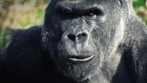 Gorilla Eating Closeup