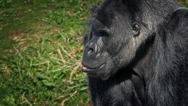 Gorilla Looking Around The Jungle