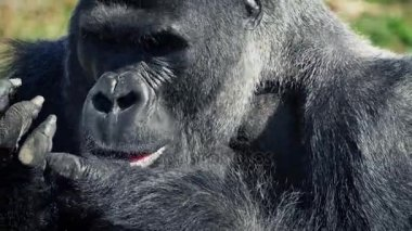 Silverback Gorilla Eating With His Hands