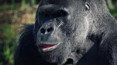 Gorilla Eating Looks Up At Camera
