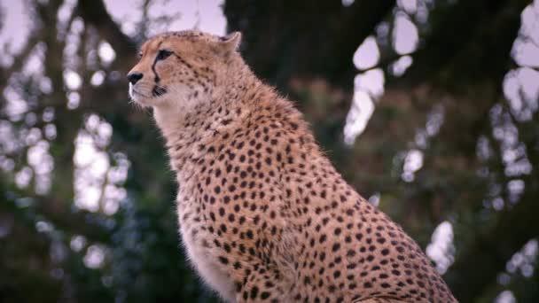 Gepard v hezké večerní světlo