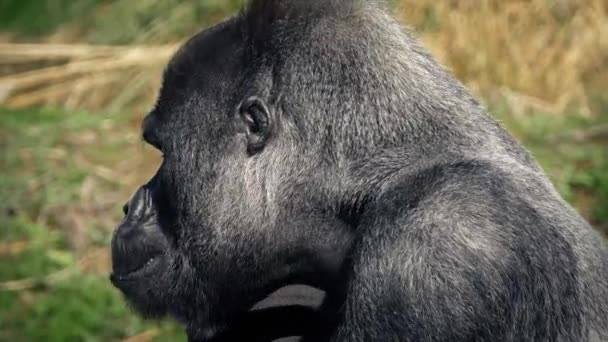Gorilla Chewing Food Gets Up And Leaves