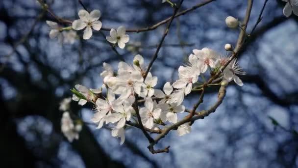Třešňové květy v jemný vánek