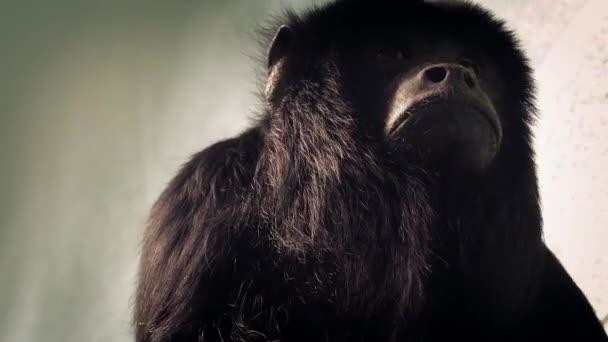Howler Monkey Looking Around