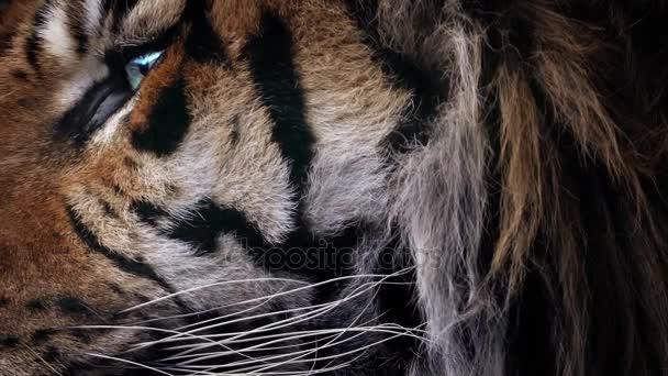 Tygří tvář Detailní