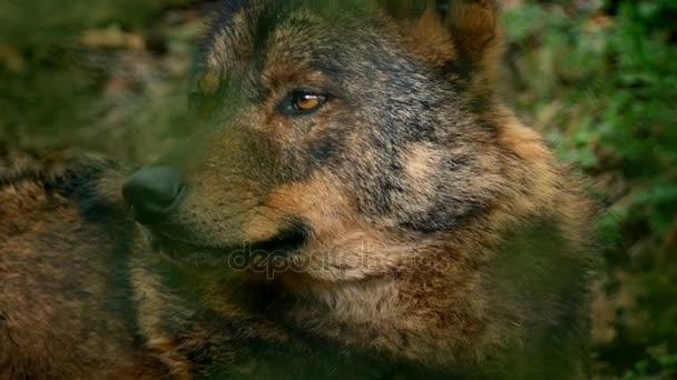 Wolf Looking Around Deep In Woods Closeup