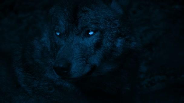 Wolf vrčí s jasnýma očima ve tmě