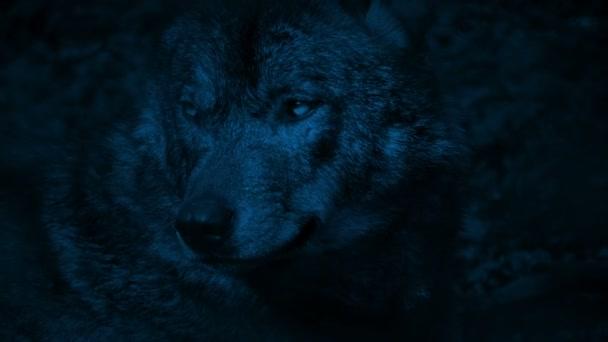 Wolf vrčí v lese v noci