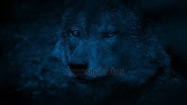 Boční pohled v noci Wolf
