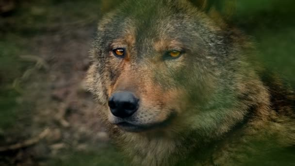 Wolf oldalnézetből erdő