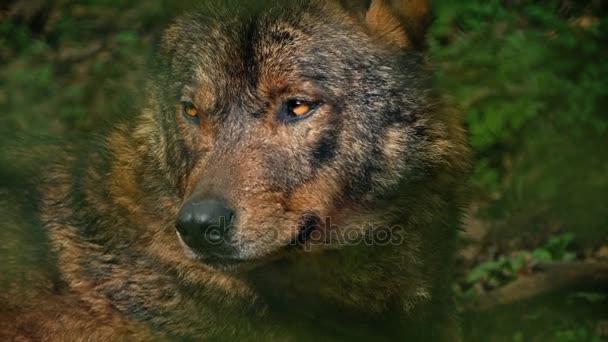 Wolf vrčí v lese Closeup