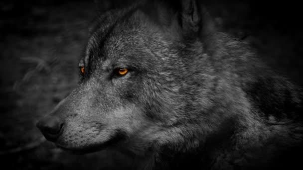 Wolf oldalnézetből a tüzes szeme absztrakt