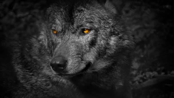 Wolf vrčí s ohnivýma očima abstrakt
