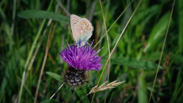 Butterflies Eating Nectar From Meadow Flowers