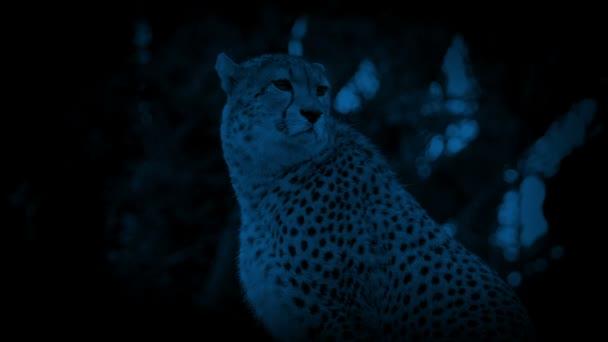 Gepard v džungli v noci
